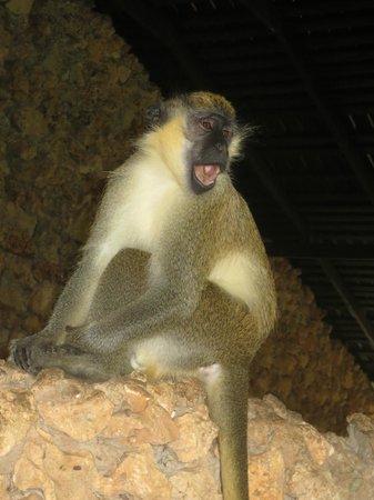 Barbados Wildlife Reserve: Green Monkey