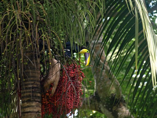 Bosque del Cabo Rainforest Lodge: Toucan - Taken from the Hotel Restaurant