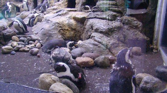 Ripley's Aquarium of the Smokies: Penguins