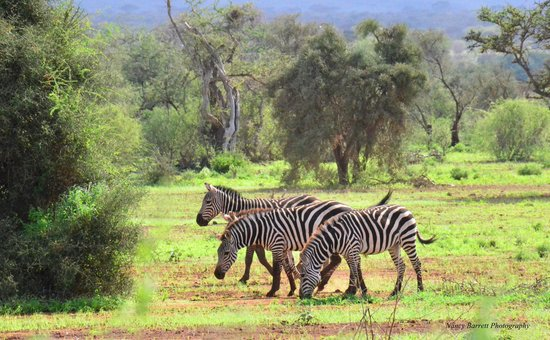 Tawi Lodge: Zebra wandering past the cottage