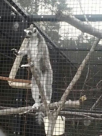 Duke Lemur Center : Close up viewing