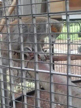Duke Lemur Center: Lots of lemurs!