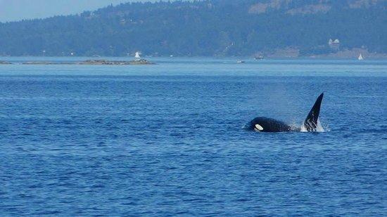 Maya's Legacy Whale Watching: Big transient male