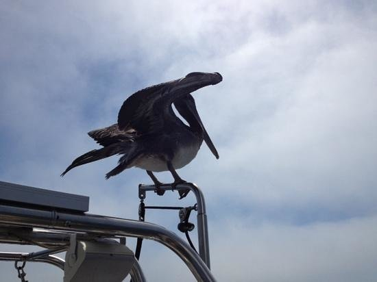 Central Coast Sailing Charters: this is a great bit if wildlife viewing as this pelican landed on the boat and sailed with us fo