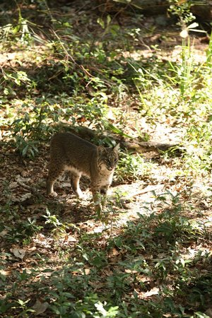 Oatland Island Wildlife Center: BOBCAT