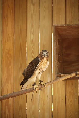 Oatland Island Wildlife Center : RED TAIL HAWK