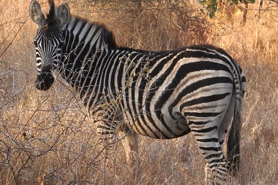 Singita Sweni Lodge: Zebra