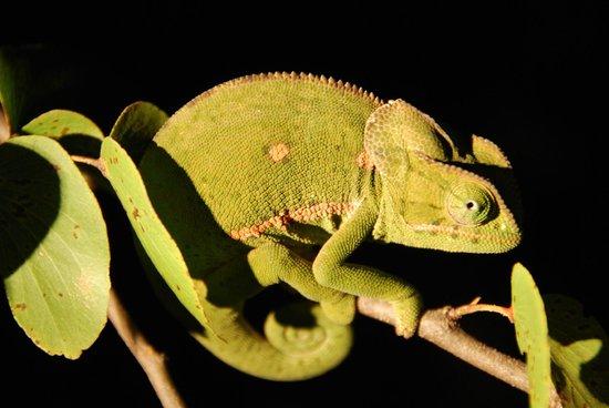 Simbavati River Lodge : chameleon