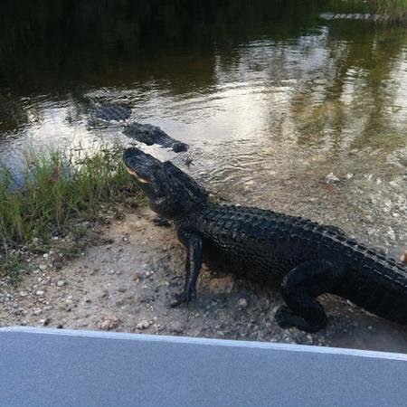 Jungle Erv's Everglades Airboat Tours : the beautiful female being watch closely by male.