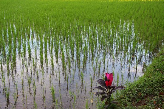 Rice Paddy across the Hotel