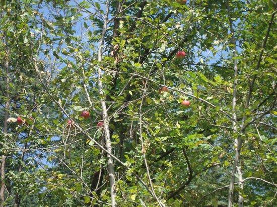 Sparsh Resort: lovely apple trees