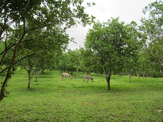 Table Rock Jungle Lodge: Donkeys in the orchard out front of the jodge as you drive in.