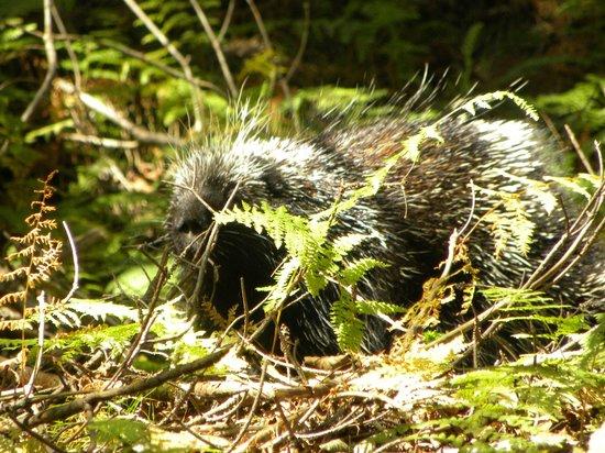 Mount Ascutney: Porcupine Near summit