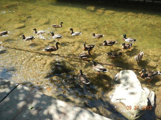 BEST WESTERN Twin Islands: Ducks in the creek