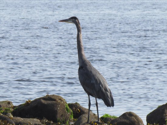 Shady Shores Beach Resort: Great Blue Heron