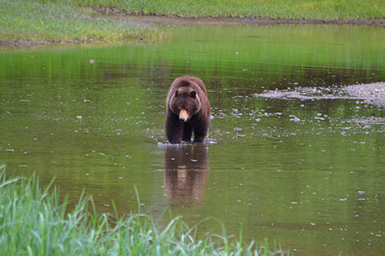 Juneau, AK: A brown bear wades in a Pack Creek Bear Sanctuary stream