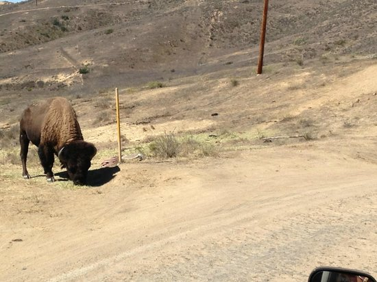 Catalina Expeditions  Tours: One of Catalina's Famous Bison