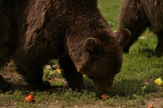 Libearty Bear Sanctuary Zarnesti : liberty bear 1