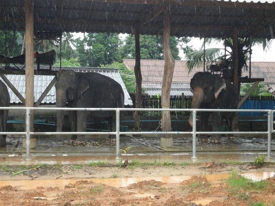 Garden Resort : elefantes al lado del hotel