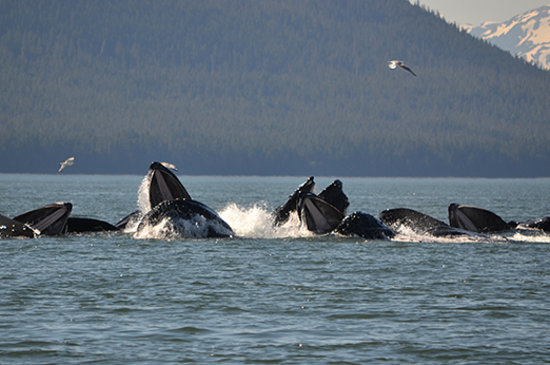 Juneau, AK: Humpbacks bubble-net feeding