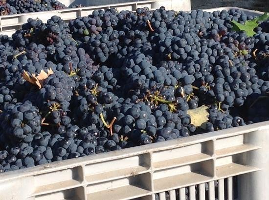 Montioni, Oil Mill & Winery: sangiovese grapes of MONTIONI Winery