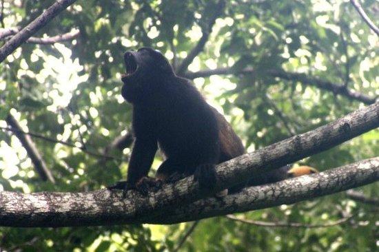 Morgan's Rock Hacienda and Ecolodge : Howler Monkey (jungle tour)