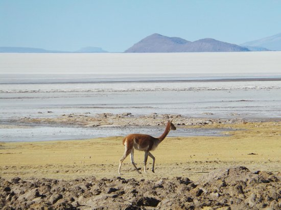 Ruta Verde Tours : A vicuna on the edge of the salt plain