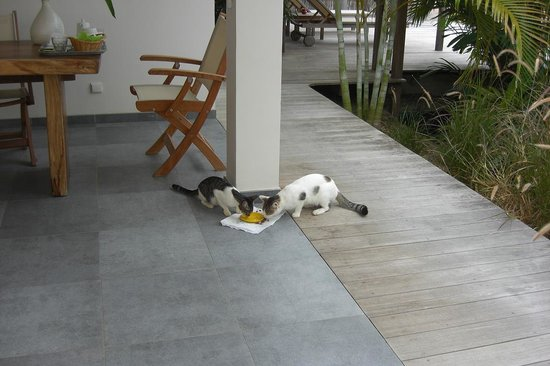 Hotel Le Village St Barth: Feeding time for the two of the cats !