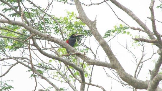Empalme a Las Playas: toucan