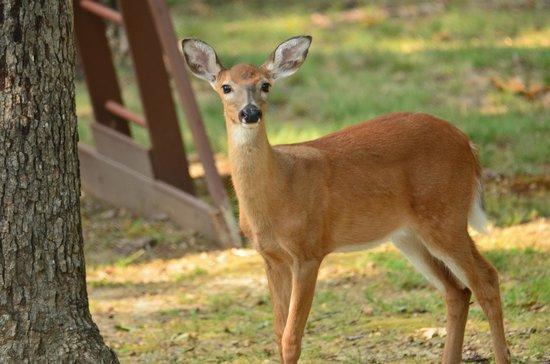 Frannie's Cabins : Deer in Frannie's yard