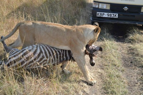 Enchoro Wildlife Camp: lion dragging a zebra carcass right in front of our car