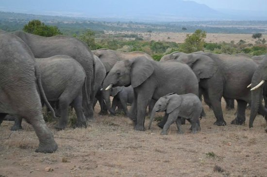 Enchoro Wildlife Camp: an elephant herd spotted in the Mara