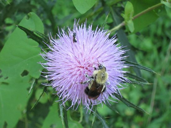 Tyler Arboretum : thistle and bee