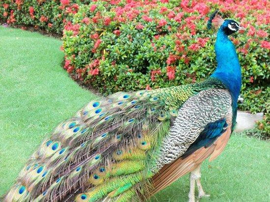 Velas Vallarta: Beautiful peacock