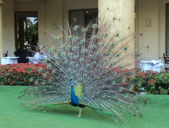 Velas Vallarta: Loved the wandering peacocks