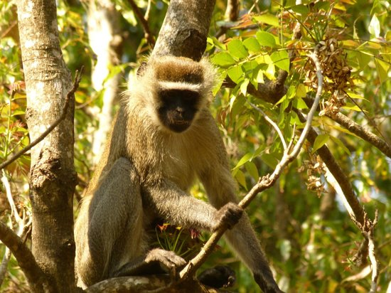 Casa Rossa: Samango Monkey