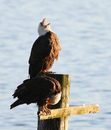Seasmoke Whale Watching : Bald eagle calling, alongside his mate, watched from Seasmoke's accommodation