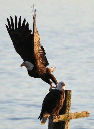 Seasmoke Whale Watching : Bald eagle takes off, a huge, impressive wingspan