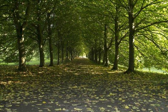 Castle Ward : Tree lined avenue, Castleward Grounds