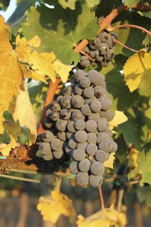 Agriturismo Il Castagno: Grapes in the vineyard next to the property