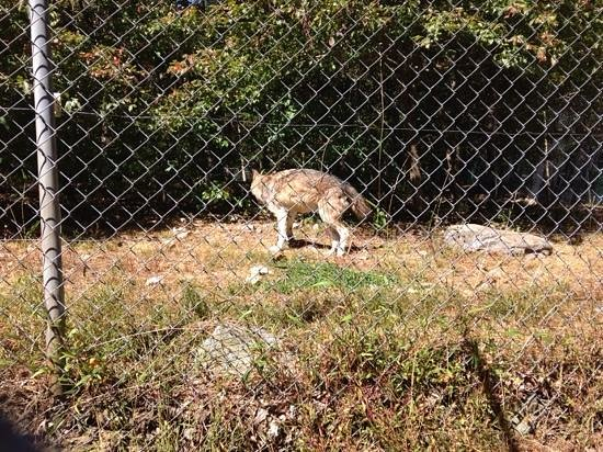 Camp Taylor: we saw a few wolves through the fence