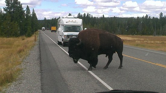 Jackson Hole Wildlife Safaris - Day Tours: Bison in the road