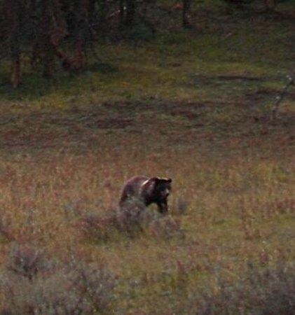 Jackson Hole Wildlife Safaris - Day Tours: Grizzly!