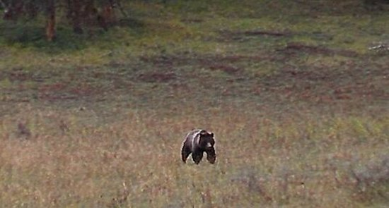 Jackson Hole Wildlife Safaris - Day Tours: Grizzly (taken with a little camera)