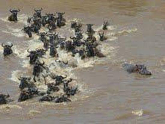 Olakira Camp, Asilia Africa: Crossing with Hippo