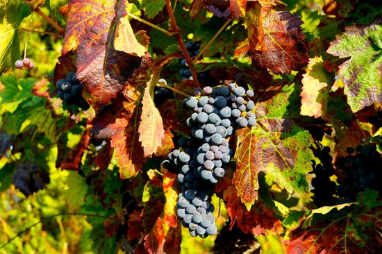 Coquillade Village : The grapes from the hotel's vineyard