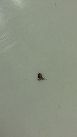 Motel 6 Orlando Kissimmee Main Gate East: One of the fleas picked off me room 272
