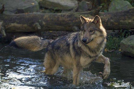 Lakota Wolf Preserve: Water play