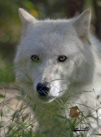 Lakota Wolf Preserve: Peering through the grass