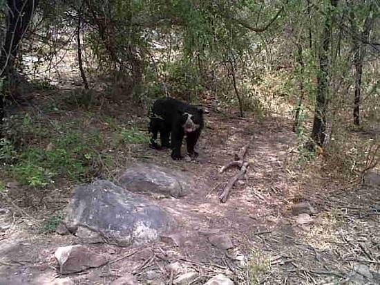Chaparri Reserve : Speckled Bear part of the Chaparri Animal rescue Program